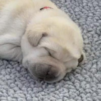 An adorable sleeping puppy.