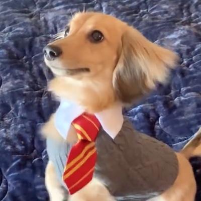 A puppy named Remus wearing a Hogwarts school uniform.