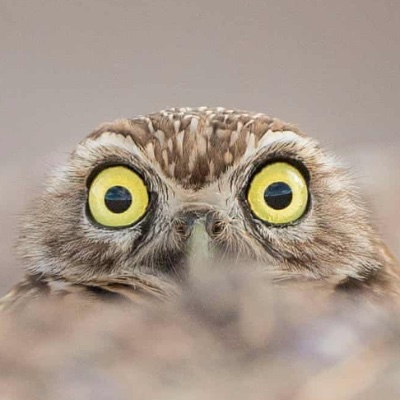 An owl peeking over a mound of dirt with incredibly wide eyes.